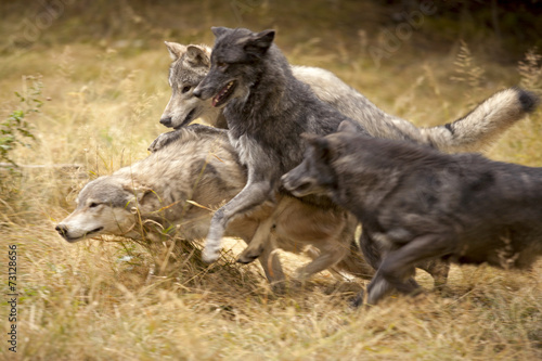 Grey Wolf Pack at Play Poster