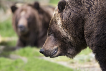 Kodiak Brown Bears