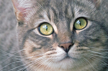 Silver Tabby Cat Close Up