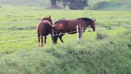Zwei tragende braune Pferde auf der Wiese
