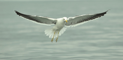 Flying kelp gull (Larus dominicanus), Black Backed Kelp Gull.