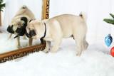 Funny, cute and playful pug dog
