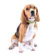 canvas print picture - Beagle dog isolated on white