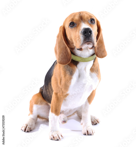Fotobehang Hond Beagle dog isolated on white