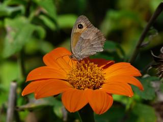 fiore arancione - margherita con farfalla