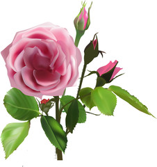 dark pink rose flower with three buds