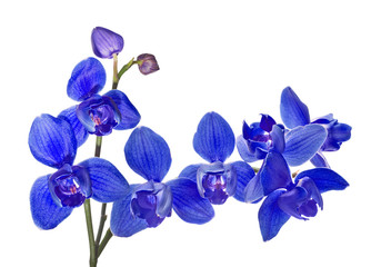 three petals isolated blue orchids