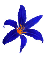 dark blue lily bloom on white