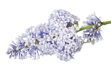 light blue isolated lilac small inflorescence