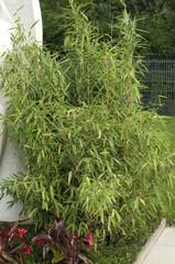 Bambus, Grabbepflanzung; Randbepflanzung,
