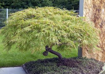 gruener, Faecherahorn, Acer, palmatum,