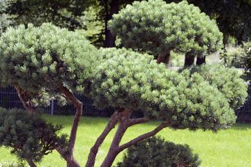 Formschnitt kiefer; beschnitten; Kiefer; Pinus