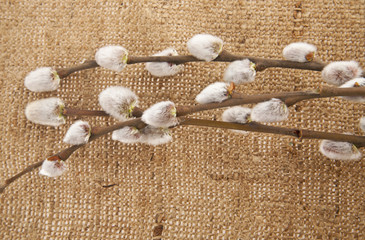 branch of pussy-willow