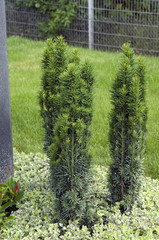 Saeuleneibe, Taxus Baccata; Randbepflanzung, Grab