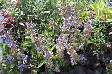Salbei; Salvia, officinalis;