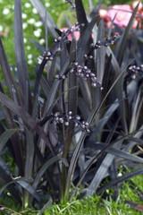 Schwarzer, Schlangenbart, Ophiopogon planiscapus,