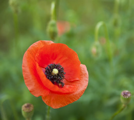 flower of poppy