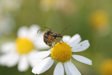Käfer Männchen und Weibchen bei der Paarung