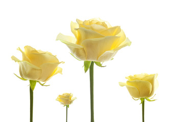 flower roses isolated