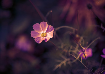 Cosmos flower. Color toned image. Selective focus.