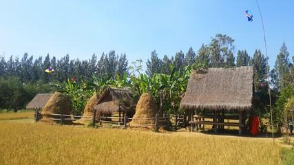 Haystack in rice field