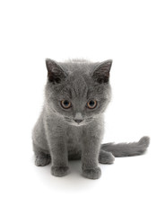 Scottish breed gray kitten on a white background close-up