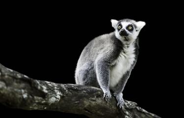 Ring-Tailed Lemur (Lemur Catta) on black background