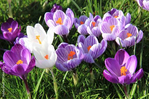 Staande foto Krokussen purple crocuses