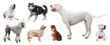 Set of Dogo Argentino and other dogs
