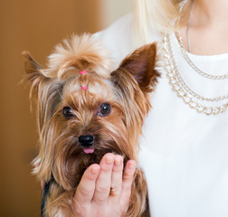 Funny Yorkshire Terrier on  hands