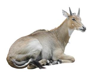 Nilgai (Boselaphus tragocamelus)