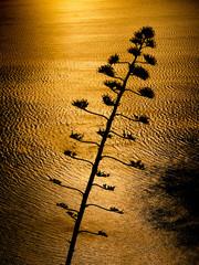 Giant Aloe plant flower back lit by setting sun
