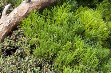 Zwerg-Kiefer, Pinus mugo, Grabbepflanzung;