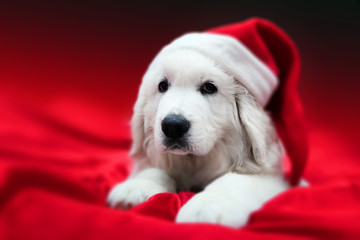 Cute white puppy dog in Chrstimas hat lying in red satin