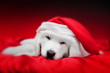 Cute white puppy dog in Chrstimas hat sleeping in red satin