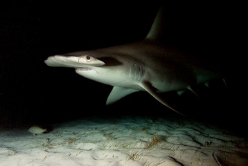 Great hammerhead in the night