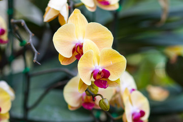 Yellow Orchids (Phalaenopsis Hybrid)