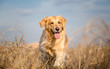 Golden retriever dog running outdoor - 73160451