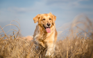 Golden retriever dog running outdoor