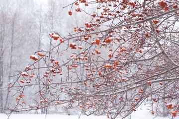 frozen snowy red berries on tree
