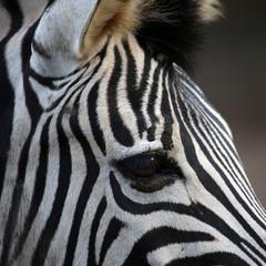 Zebradetail