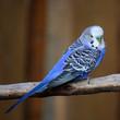 canvas print picture - blauer Wellensittich