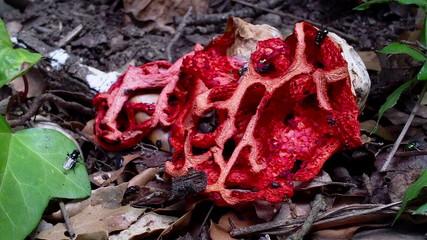 Very interesting species of fungi (Clathrus ruber)