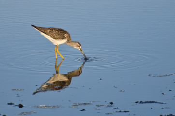 Sandpiper Catching a Fish