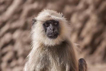 Indian Gray langurs or Hanuman langurs Monkey (Semnopithecus ent