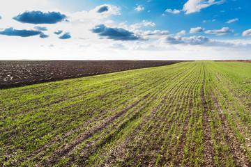 Green wheat field just sprung at autumn