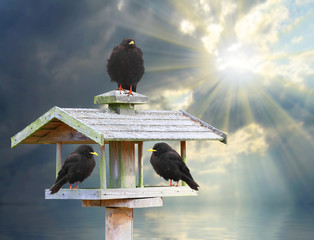 Three hungry birds on a wooden bird table in frosty day.