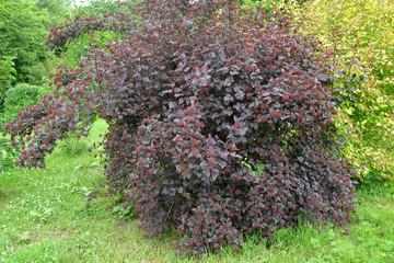 .Dwarf ninebark (Physocarpus opulifolius Kuntze), Diabolo grade
