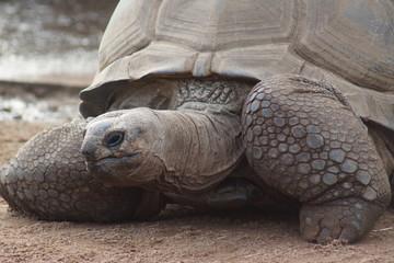 Aldabran Giant Tortoise - Aldabrachelys gigantea