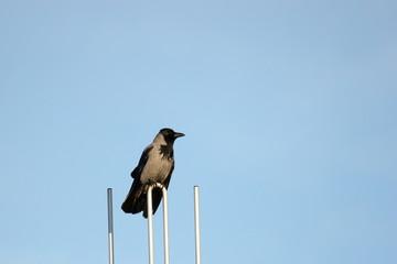 Hooded Crow On Aerial